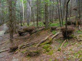 12 NESTS - branches and roots of fallen trees, Edmundston, N.B., Canada - 2012